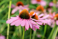 Echinacea purpurea single cone flower in summer garden Stock Images