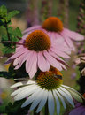Echinacea purpurea with small butterfly flowers also known as coneflowers an herbaceous flowering perennial plant from the Royalty Free Stock Images