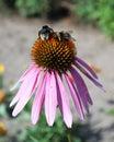 Echinacea purpurea & x28;Eastern purple coneflower& x29; flower with two b Royalty Free Stock Photo