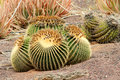 Echinocactus Stock Photography