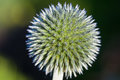 Echinops globe thistles plant spherical flower head with morning dew Stock Photo