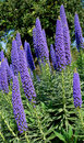Echium Candicans in full bloom, flower detail Stock Photography