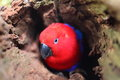 Eclectus parrot in hollow of tree close up a colorful australian female looking out a an emergent rainforest breeding season Royalty Free Stock Photos