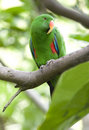 Eclectus parrot male green parrot  bird, indonesia Royalty Free Stock Photography