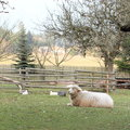 Eco farm with sheep duck goose and guinea hen on autumn Stock Photo