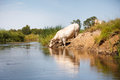 Eco farming, white cow drinking from river Royalty Free Stock Photo