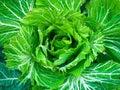 Ecological big fresh cabbage background Royalty Free Stock Photos