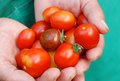 Ecological cherry tomatoes in hands Stock Photos