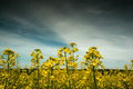 Ecological fuel ukrainian broad field of blue sky rape yellow flowers Royalty Free Stock Images