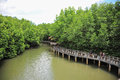 Ecotourism for mangrove forest Stock Photography