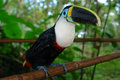 The ecuadorian amazonian rain forest toucan Royalty Free Stock Photography