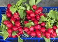 Ed radishes fresh red at the local farmer s market Royalty Free Stock Photos