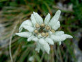 Edelweiss alpine flower Royalty Free Stock Photo