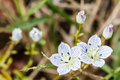 Edelweiss alpine flowers Royalty Free Stock Image