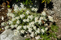 Edelweiss flower . Stock Photos