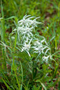 Edelweiss flower Stock Photography