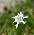 Edelweiss flower in bloom Royalty Free Stock Images