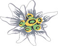 Edelweiss flower vector illustration of a Royalty Free Stock Images