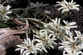 Edelweiss flowers in austrian mountains or leontopodium alpinum is a well known mountain flower belonging to the sunflower family Stock Images