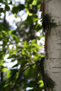 Edge of a birch tree Royalty Free Stock Photo