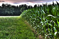 Edge of a corn field with forest in background hdr image Royalty Free Stock Images