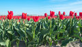 At the edge of a Dutch tulip field Royalty Free Stock Photo