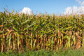 On the edge of a field with fodder maize Royalty Free Stock Photos