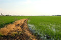 The edge of the rice field Royalty Free Stock Photo