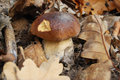Edible boletus Royalty Free Stock Images