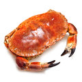 Edible brown crab. Stock Photography