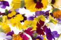 Edible Flowers Isolated Stock Photography
