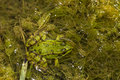 Edible frog pelophylax esculentus close up view of the on a puddle Stock Photo