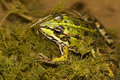Edible frog pelophylax esculentus close up view of the on a puddle Royalty Free Stock Photos