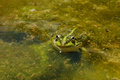 Edible Frog - Pelophylax kl. esculentus Royalty Free Stock Photos