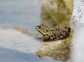 Edible frog pelophylax kl esculentus on the rock Stock Images