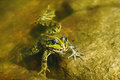 Edible frog in  water Royalty Free Stock Photo