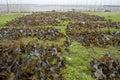 Edible kelp Royalty Free Stock Photos