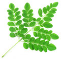 Edible moringa leaves Stock Photo