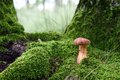 Edible mushroom in the green moss Royalty Free Stock Photo