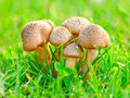 Edible mushrooms Royalty Free Stock Photography
