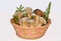 Edible mushrooms boletus Stock Images