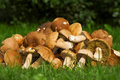 Edible mushrooms. Boletus edulis Stock Photos