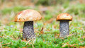 Edible mushrooms in forest. orange-cap boletus Royalty Free Stock Photography
