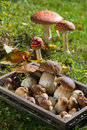 Edible mushrooms in a tray Royalty Free Stock Images