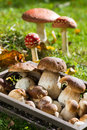 Edible mushrooms in a tray Stock Photography