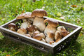 Edible mushrooms on a tray Stock Photography