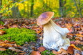 Edible porcini mushroom on forest floor in fall Royalty Free Stock Photo