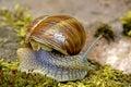 Edible snail Royalty Free Stock Photo