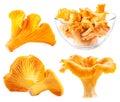 Edible wild mushroom chanterelle Royalty Free Stock Photo