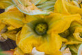 Edible zucchini squash blossoms bright yellow orange great for tempura or other preparations Royalty Free Stock Image